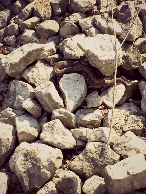 snake in rock at Cedar Point