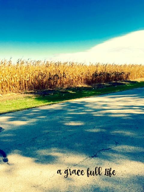 Corn in Autumn