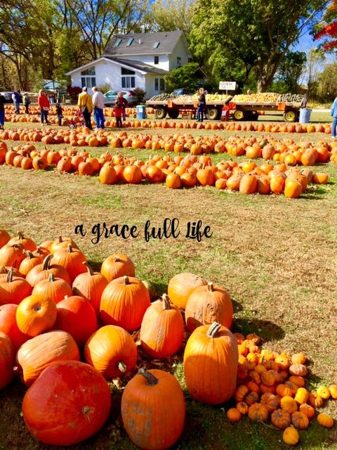 rows of pumpkins Autumn Drive